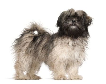 A Lhasa Apso with dark fur around its head