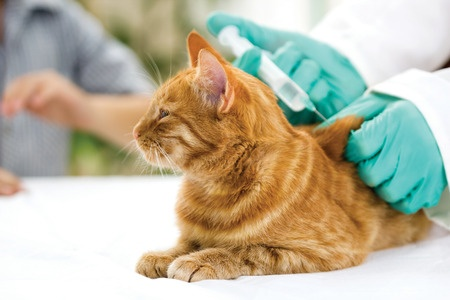 A cat receives an injection for diabetes