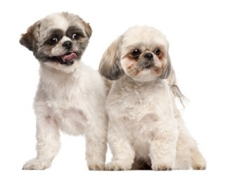 A pair of Shih-tzus puppies, which can be prone to tear staining