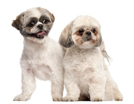 A pair of Shih Tzus, a breed which can suffer from dog tear stains