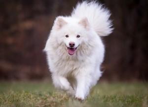 A pedigree white adult Finnish Lapphund dog
