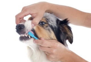 A purebred Australian Shepherd dog gets its teeth brushed