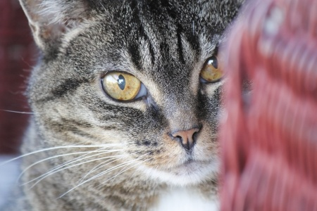 Ensure you closely monitor your cat's behaviour if it suffers from diabetes