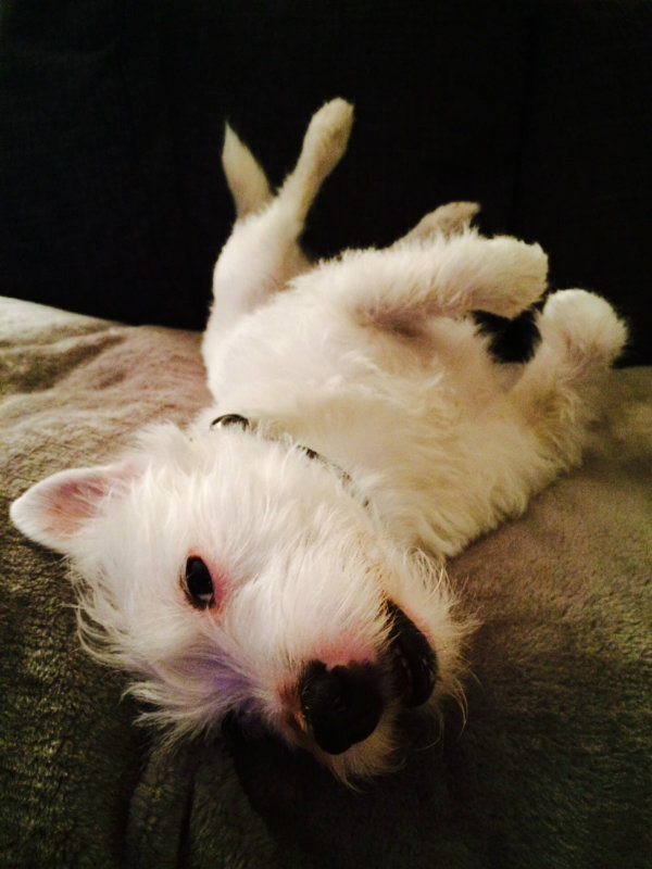 Jack-the-Jack-Russel-Parson-Terrier1