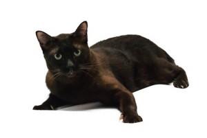 A havana brown cat