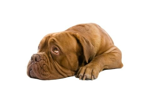 A French Mastiff dog looks a little bit depressed