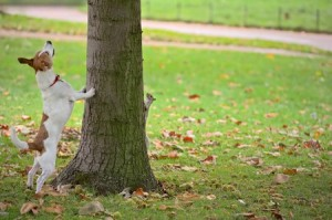 A Jack Russell terrier chases a grey squirrel up a tree