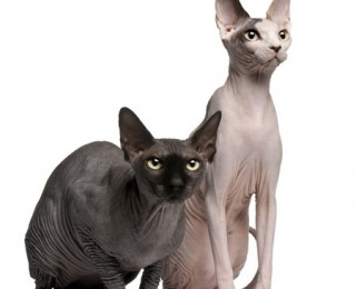 The Sphynx cat is a striking breed that has been bred since the 19060s.