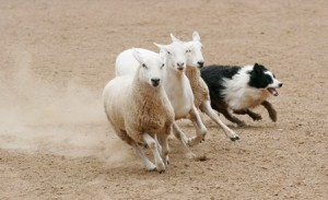 A herd of sheep are rounded up by a Border Collie dog