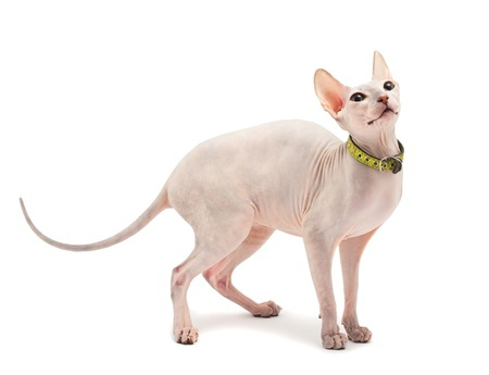 The Sphynx cat is often thought to be a hairless cat, but it actually has a fine layer of fur