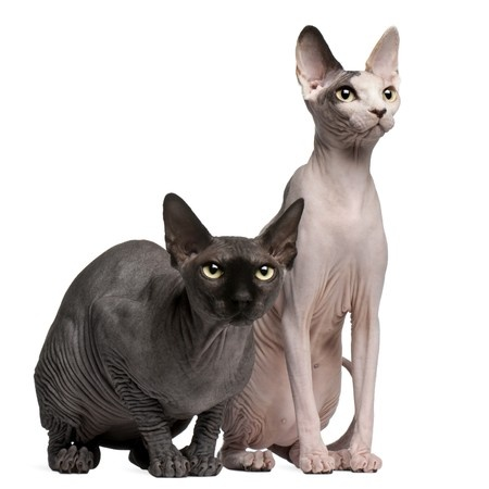The Sphynx cat has a striking appearance and was first bred in the 1960s