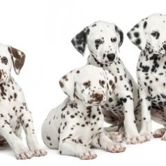 Dalmatian puppies and dogs
