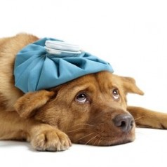 Preventing and spotting distemper in dogs