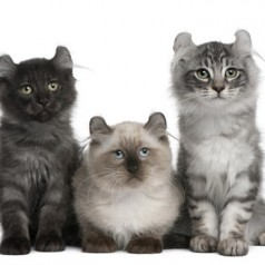 American curl kittens and cats