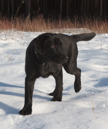 A Black Labrador Retriever puppy on a cold winter walk