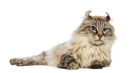 The popular American Curl cat