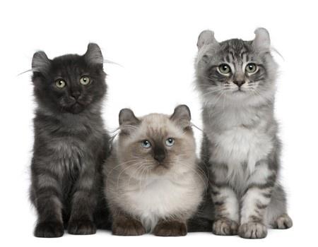 American Curl Cat Uk