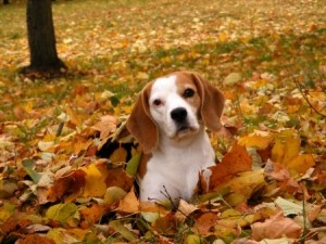 A beautiful Beagle dog plays in some Autumn leaves