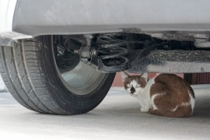 Always make sure your cat is safe during colder months as they like to take refuse under cars at this time of the year