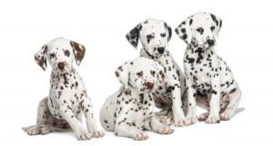 Four Dalmatian puppies sitting in a row