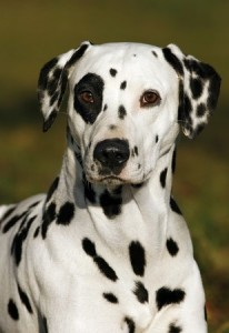 Dalmatian dogs don't like to be alone for a long time and can be prone to deafness