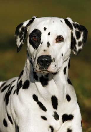 Breed Review Dalmatian Dogs And Pups Argos Pet Insurance
