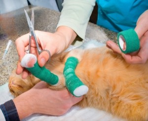 If your pet suffers a cat fracture it is important to consult a vet