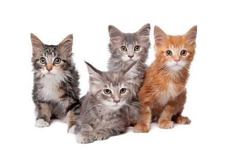 A collection of cute Maine Coon kittens