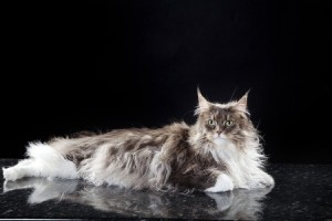 The gorgeous Maine Coon cat, also known as the American Longhair