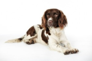The Springer Spaniel is known for its long and wide floppy ears