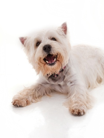 A West Highland Terrier barks softly