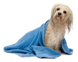 Wrap your dog in a towel when you return from winter walks to dry them quickly and prevent cold