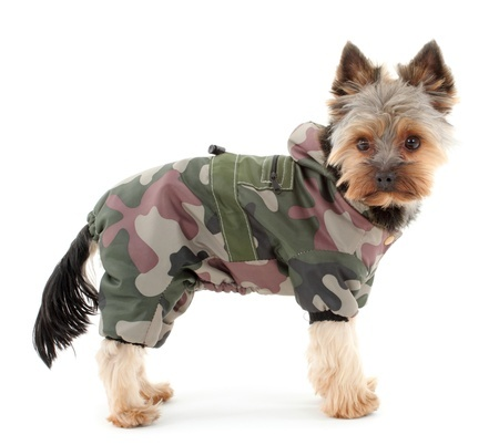 This Yorkshire Terrier will be warm in winter camouflage clothes