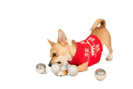 Will you dress your pooch in a dog Christmas jumper this year?