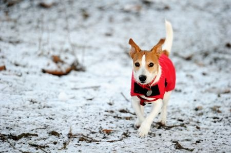 A Jack Russell Terrier runs across snowy ground