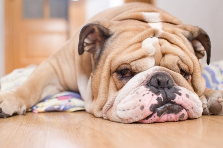 A lazy looking Bulldog