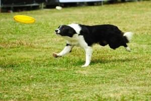 An energetic Border Collie chases a frisbee
