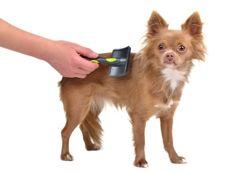 This Chihuahua puppy is combed with a brush to prevent matted dog hair