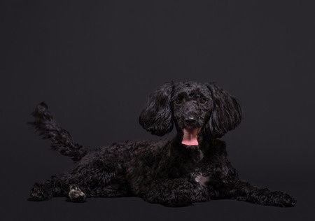 A gorgeous black Cockapoo dog