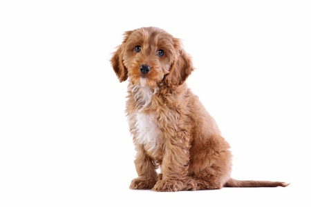 Cockapoo puppies are always very cute