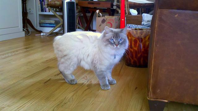 A Cymric cat