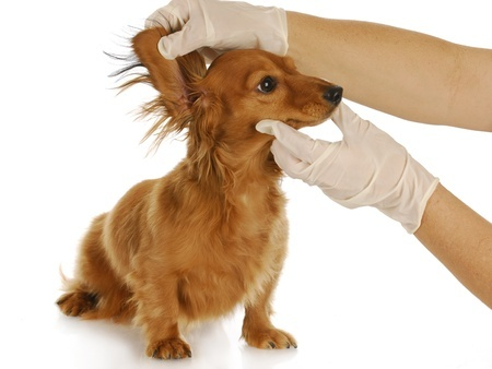 Make sure you always check your dog's ears for dirt and clean them regularly