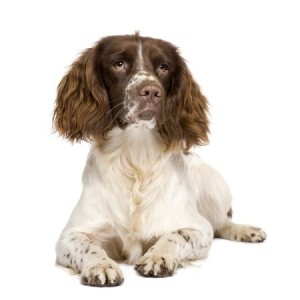 An English Springer Spaniel