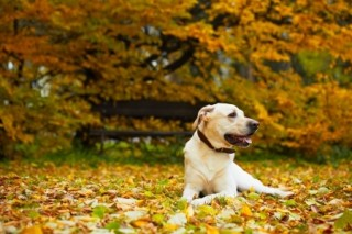 Breed review: Labrador retriever puppies and dogs | Argos ...