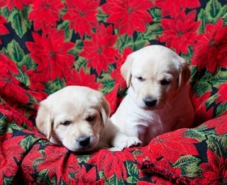 Possible poisons to pets - Keeping your dogs away from real Poinsettias is a good idea at Christmas