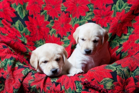 Keeping your dogs away from real Poinsettias is a good idea at Christmas