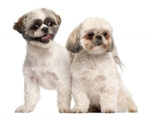 Two cute Shih Tzu puppies