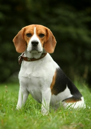 A beautiful Beagle dog