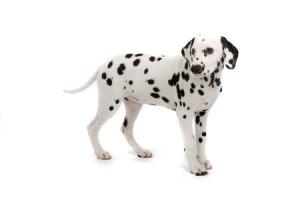 A cute Dalmatian puppy