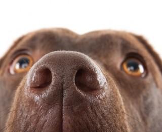 A Labrador dog's nose close up